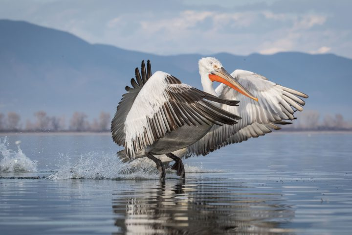 Vulutres and Pelicans-8729